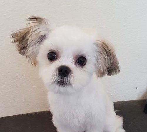 cute dog, white dog, fluffy dog, dog grooming, mobile dog grooming, before and after dog grooming, dog hair cut, cute dogs