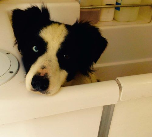 dog in a tub, dog wash, dog being washed, mobile dog wash, collie in a tub, collie in a bath tub, collie in a hydrobath, dog in a hydrobath,