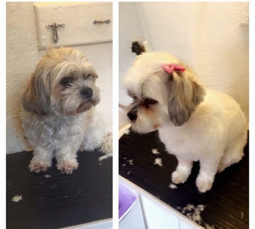 dog grooming before and after, before and after, cute dog, dogs, dog grooming, mobile dog grooming, dog on a grooming table, dog on a mobile dog grooming table