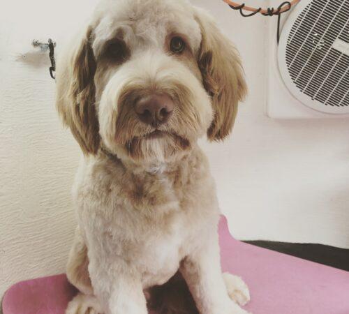 labradoodle dog groom, prospect labradoodle