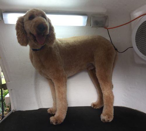 dog on a dog grooming table , dog being groomed, cute dog, poodle, grooming poodle, dog, grooming dog