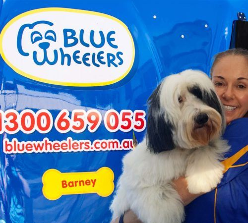 Lady holding dog, cute dog, woman holding dog, blue wheelers logo, dog grooming uniform, grooming salon, mobile grooming salon, blue dog, dog trailer, mobile dog grooming salon, female groomer, female dog groomer, lady dog groomer, cute dogs, mobile dog wash trailer, lady grooming a dog, groomer, mobile dog groomer