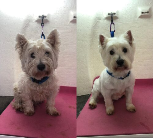 westie dog, prospect dog groom