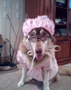 halloween-costumes-for-your-dogs-husky