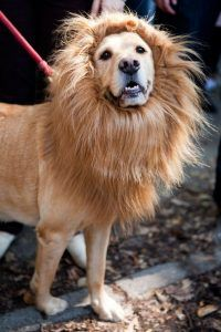 halloween-costumes-for-your-dogs-lion
