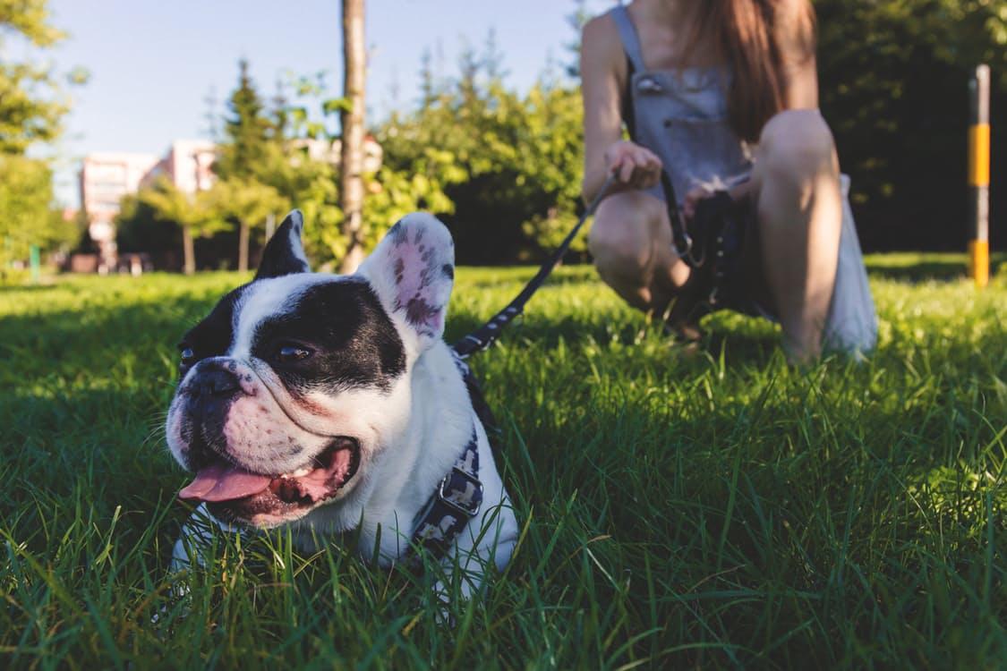 Boston terrier perth
