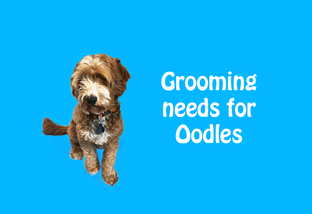 mobile dog grooming, importance of grooming, Grooming needs for Oodles, Poodle mixed, grooming dogs, mobile dog groomer, before and after grooming, groomer, matted dogs, Spoodle