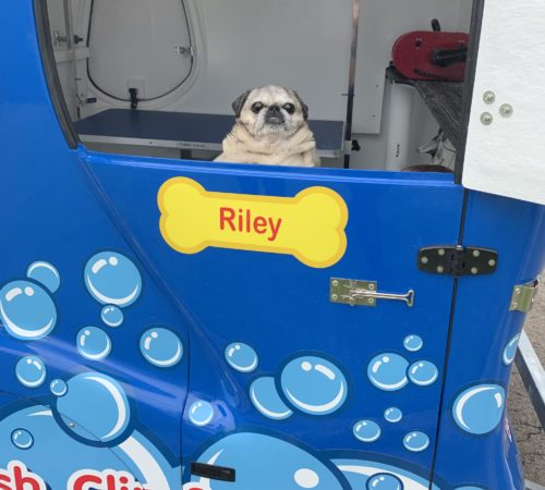 pug, pug in a grooming trailer, pug grooming, cute dog, senior pug, pug wash