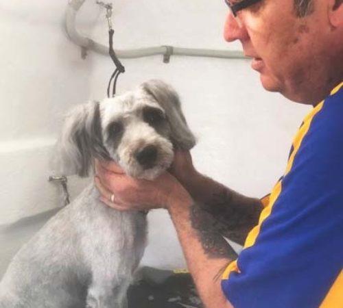 mobile dog groomer, dog groomer, dog grooming upper coomera, bulldog cute dog, English bull dog