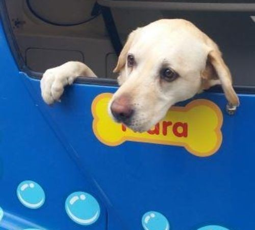 dog, cute dog, dog in a grooming trailer, dog inside of mobile salon, doggies, dog wash, cute lab, Labrador