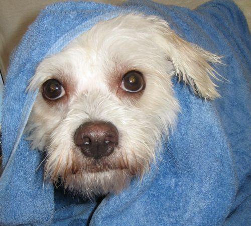 dog wrapped in a towel, cute dog, dog bath, dog wash, dog in a towel, dog being groomed
