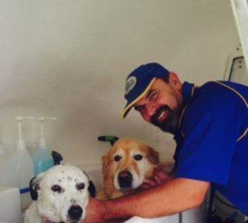 Dalmatian/Border Collie cross , Golden retriever, cute Golden retriever, Dalmatian, in a hydrobath, cute dogs, mobile dog wash trailer, mobile dog groomer, cute dogs, dog, dogs, cute puppy, pup, groomer grooming dog