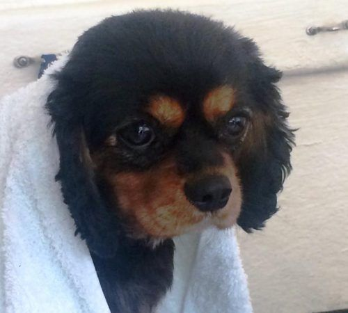 King Charles Cavaliers, King Charles Cavaliers after a wash, dog wash, mobile dog wash, King Charles Cavaliers wrapped in a towel, dog wrapped in a towel, after dog wash