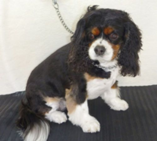cute dog, dog, dog on a grooming table, Cavalier King Charles Spaniel being groomed, Cavalier King Charles Spaniel