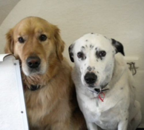 cute dogs, dog, dogs, cute puppy, pup, groomer grooming dog, Dalmatian/Border Collie cross , Golden retriever, cute Golden retriever, Dalmatian, dogs on a grooming table, Dalmatian/Border Collie cross on a grooming table