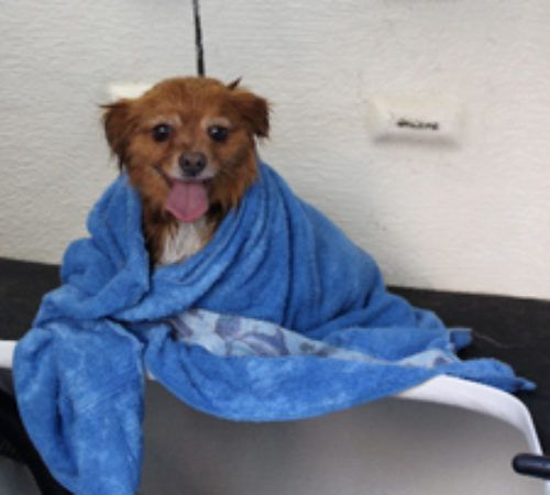 dog wrapped in a towel, dog after wash, cute dog in a towel, brown dog in a mobile dog grooming trailer, mobile salon.