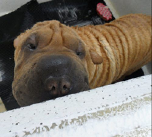 dog, cute dog, dog in a grooming trailer, dog inside of mobile salon, doggies, dog wash, shar pei, cute shar pei, tan shar pei