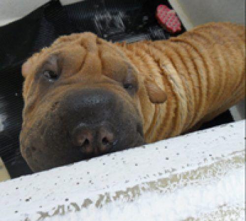 dog, cute dog, dog in a grooming trailer, dog inside of mobile salon, doggies, dog wash, shar pei, cute shar pei, tan shar pei