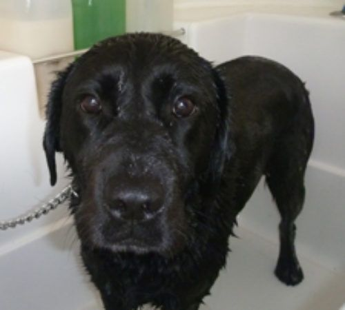 Black Labrador in a hydrobath . Labrador , cute Labrador , black lab, black Labrador, Labrador in a tub, Labrador being washed, dog washed
