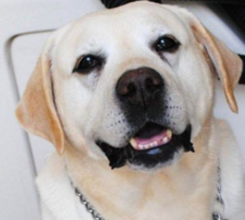 yellow Labrador, cute dog, cute lab, lab, labs yellow Labradors, cute yellow yellow Labrador