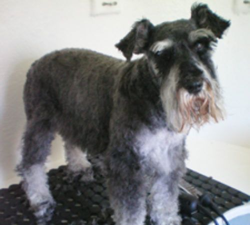Mobile dog groomer professional dog wash kingston schnauzer cute schnauzer schnauzer grooming groom schnauzers cute dog dog solutioingenieria Images