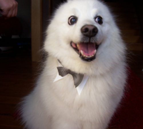 cute dog, dog, dogs, white dog, adorable dog, dog groom, smiling dog