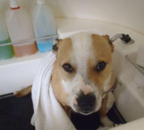 grooming salon, mobile grooming salon, blue dog, dog trailer, mobile dog grooming salon, cute dog, dog groom, dog being groomed
