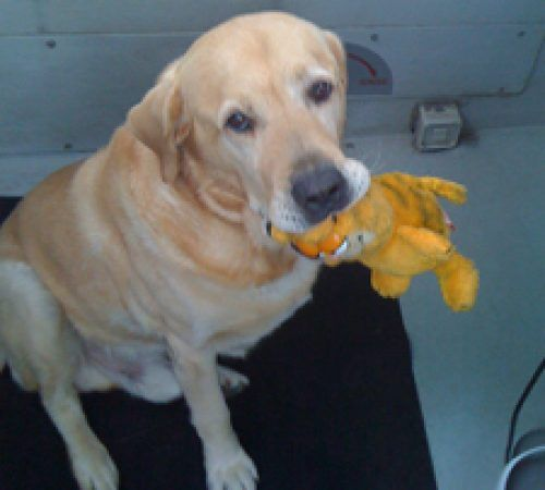 cute dogs, mobile dog wash trailer, Labrador, Labrador with a toy, cute dog with a toy, yellow Labrador, lab