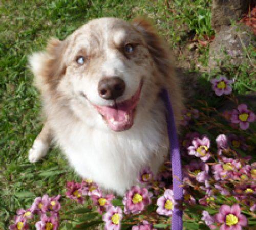 australian shepherd , cute dog, cute australian shepherd , dogs,