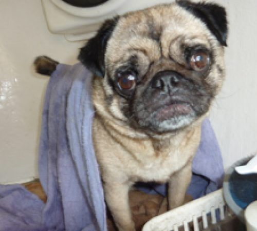 pug, pugs, cute pug, dogs, dogs being groomers, pug on a grooming table, pug being groomed